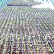 Vital Veg, organic farm, seedlings