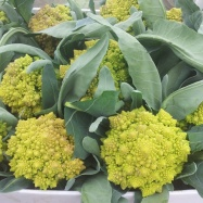 Organic romanesco broccoli grown at Vital Veg Aberdeenshire