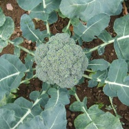 Vital Veg, organic farm, broccoli