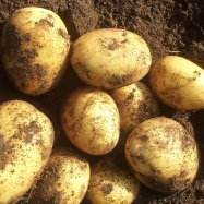 Vital Veg, organic farm, potatoes