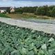 Vital Veg, organic farm, cabbages