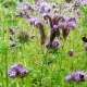 Vital Veg, organic farm, phacelia and bees